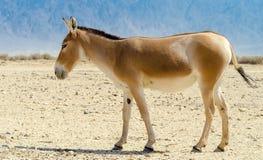 The onager (Equus hemionus) Royalty Free Stock Image