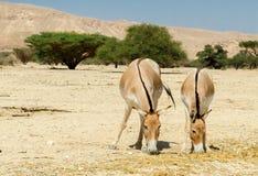 The onager (Equus hemionus) Stock Photos