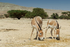 The onager (Equus hemionus) Stock Photo