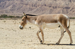 The onager (Equus hemionus) Stock Photos