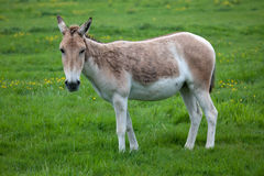 Onager in Field Stock Photography