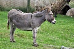 Onager (hemionus Equus) Royalty-vrije Stock Afbeeldingen