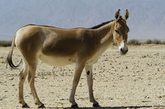 The onager, Israel Royalty Free Stock Photography