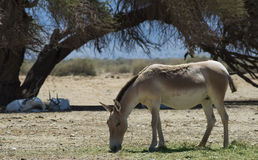 The onager in Israeli Nature Reserve. The onager (Equus hemionus) is a brown Asian wild ass Stock Photography