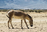 The onager in Israeli Nature Reserve Stock Photography
