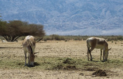 The onager in Nature reserve Royalty Free Stock Photo