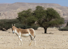 Onager in nature reserve Stock Images