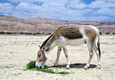 Onager in nature reserve, Israel Stock Photo