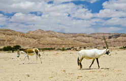 Onager and Oryx in nature reserve, Israel Royalty Free Stock Images