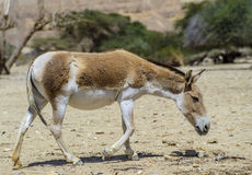 Onager is a wild Asian ass Royalty Free Stock Images