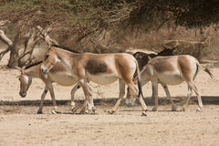 Onagers stock photo