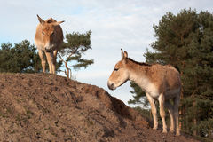 Onagers on a hill Royalty Free Stock Photography