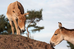 Onagers on a hill Royalty Free Stock Photo