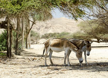 Onagers are protected in nature reserve, Israel Stock Photo