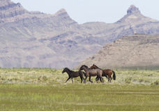 Onaqui wild horses on the run Royalty Free Stock Image