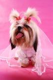 żonaty Shih tzu Zdjęcie Stock