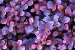 Onbekende purpere bladeren Stock Foto's
