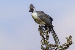 Onbeschaamde gaan-weg Neergestreken Vogel Royalty-vrije Stock Foto's