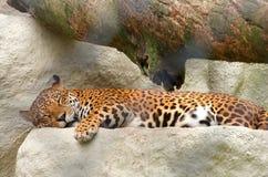 Onca - brasilianischer Leopard lizenzfreies stockbild