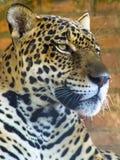 Onca de Panthera photographie stock