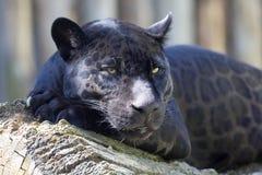 Onca del Panthera de Jaguar, forma negra, durante la defecación foto de archivo