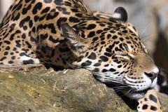Onca del Panthera de Jaguar que descansa sobre el tronco en una posición típica fotos de archivo libres de regalías