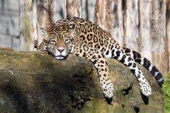 Onca del Panthera de Jaguar que descansa sobre el tronco en una posición típica foto de archivo