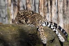 Onca del Panthera de Jaguar que descansa sobre el tronco en una posición típica imagen de archivo libre de regalías