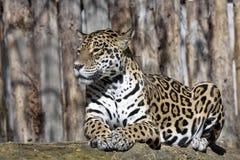 Onca del Panthera de Jaguar que descansa sobre el tronco en una posición típica fotografía de archivo