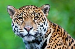 Onca Jaguar - Panthera Royalty-vrije Stock Afbeeldingen