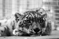Onca Panthera στοκ φωτογραφία με δικαίωμα ελεύθερης χρήσης
