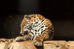 Πορτρέτο κινηματογραφήσεων σε πρώτο πλάνο του ιαγουάρου ή του onca Panthera Στοκ Εικόνα
