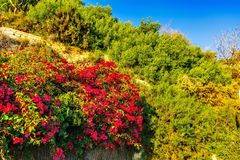 Flowering vegetation in Santa Barbara`s castle stock image