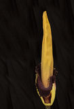 Once every ten years the corpse flower, Amorphophallus titanum, Stock Photography