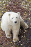 Once they had ice. A yearling polar bear waits for the ice that every year comes later and later Stock Image