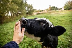 Free Once Sunny Autumn Morning A Young Cow Licks A Hand On A Beautiful Meadow Near The River Stock Photo - 170065740