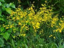 Oncidesa Goldiana anche conosciuto comunemente come la doccia dorata o i fiori ballanti di signora Orchid nel giardino di Singapo fotografia stock