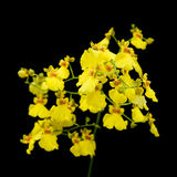 Oncidium Stock Photo