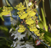 Oncidium alohi Orchid Royalty Free Stock Photography
