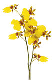 Oncidium. Branch of yellow oncidium on white background Stock Photos