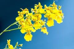 Oncidium gele Orchidee op zwarte achtergrond Royalty-vrije Stock Foto's