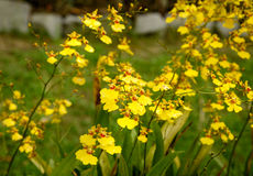 Oncidium goldiana orchids, Golden Shower Royalty Free Stock Photos