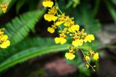 Oncidium Goldiana zna jak złotą prysznic Orch lub Dancingową dama zdjęcia royalty free