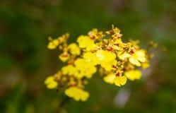 Oncidium goldianaorkidér, guld- dusch arkivfoto