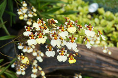 Oncidium Orchid Royalty Free Stock Photos