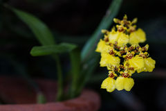 Oncidium Orchid Flowers. A branch of blooming yellow Oncidium(orchid) flower Royalty Free Stock Photos