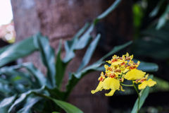 Oncidium Orchid Flowers. A branch of blooming yellow Oncidium(orchid) flower Stock Images