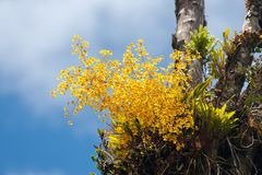 Oncidium-Orchidee stockbilder