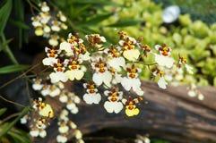 Oncidium-Orchidee Lizenzfreie Stockfotos