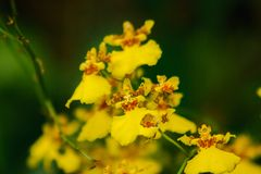 Oncidium-Orchideen sind Kulturvarietäten, die einfach sind lizenzfreie stockfotografie